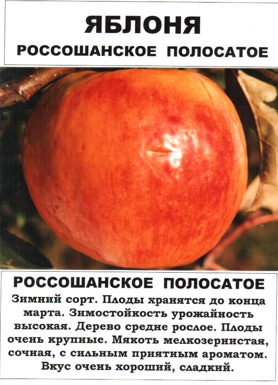 Яблоня коричное полосатое: описание сорта и его фото, посадка и уход selo.guru — интернет портал о сельском хозяйстве