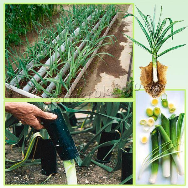 Выращивание лука-порея рассадой из семян в домашних условиях  
