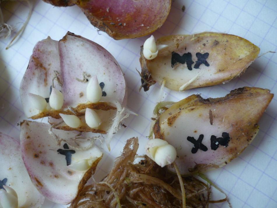 Как размножить лилию чешуйками, детками, черенками после цветения и семенами