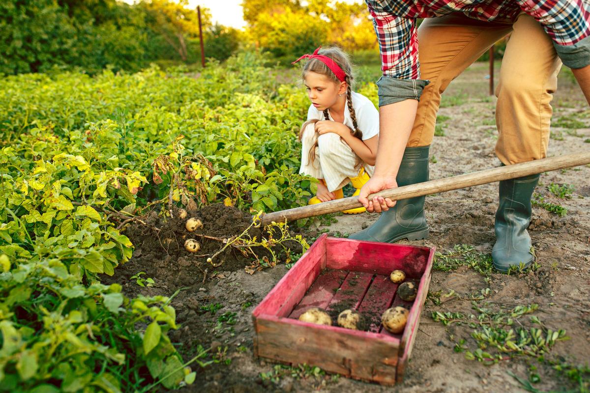 Полив картофеля: сроки, нормы, правила ухода, фото