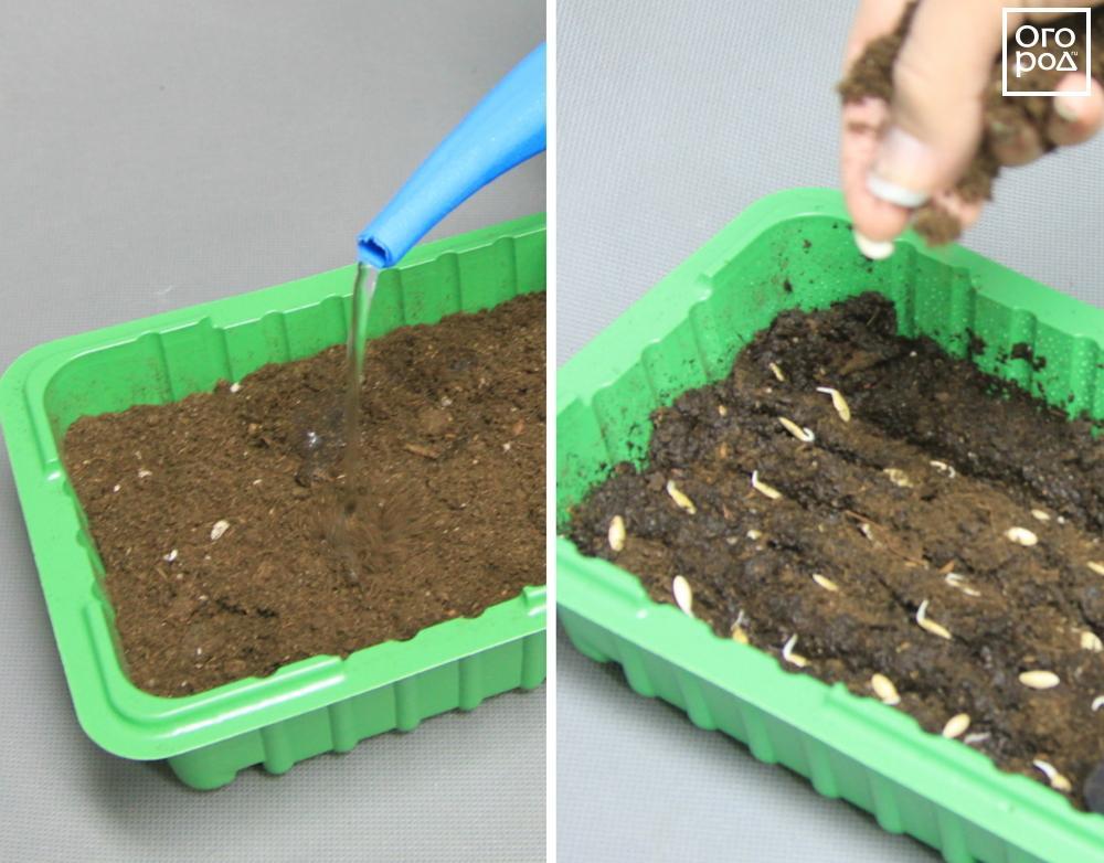 Как правильно посадить огурцы в открытый грунт