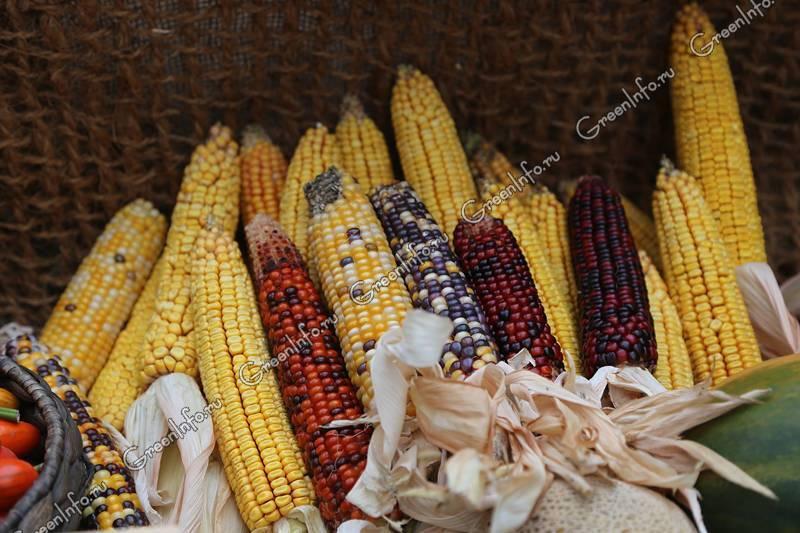 Выбор лучшего сорта кукурузы. лучшее время для посадки семян на участке