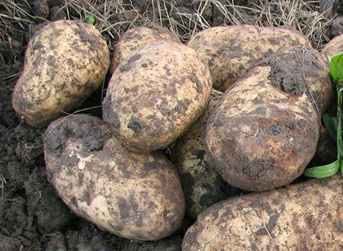 Картофель голубизна: описание сорта и характеристика