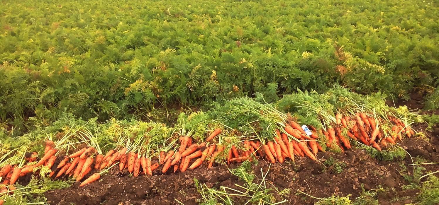 Когда убирать морковь с грядки на хранение: сроки и правила