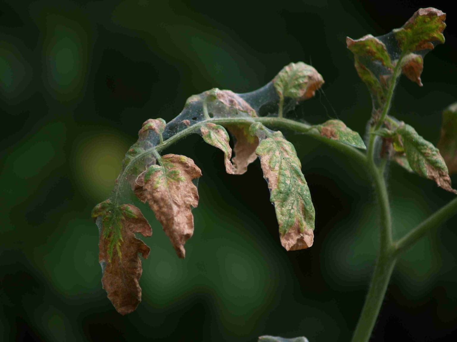 Лечение фузариозного увядания томатов