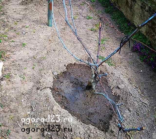 Способы, как правильно подвязать виноград и выбор материала для начинающих