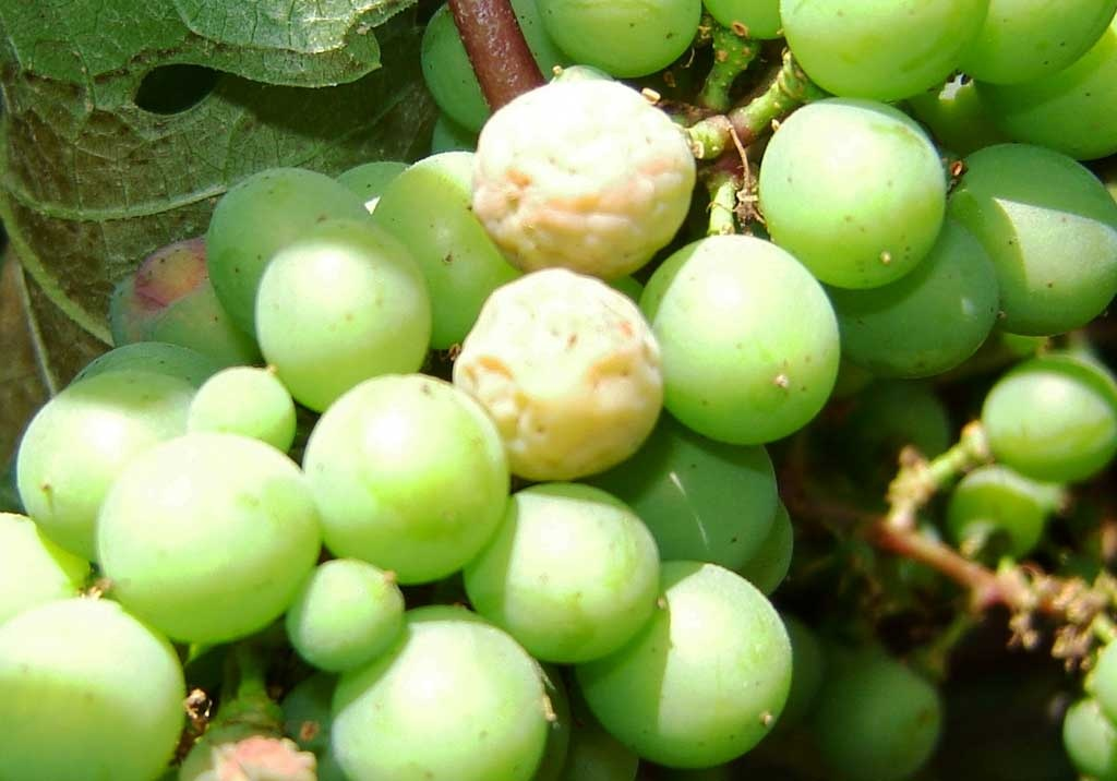 Болезни винограда фото и как лечить, мильдью, оидиум, серая гниль, как бороться, советы начинающим