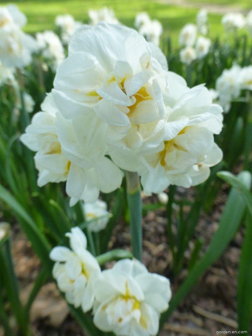 Нарцисс бридал краун фото