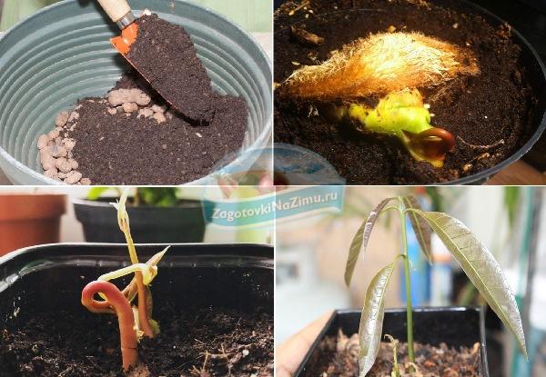 Посадка манго в домашних условиях: как растет, посадка и уход