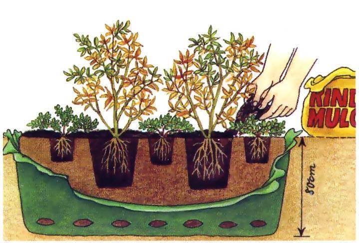 Ревень: посадка и уход – особенности выращивания