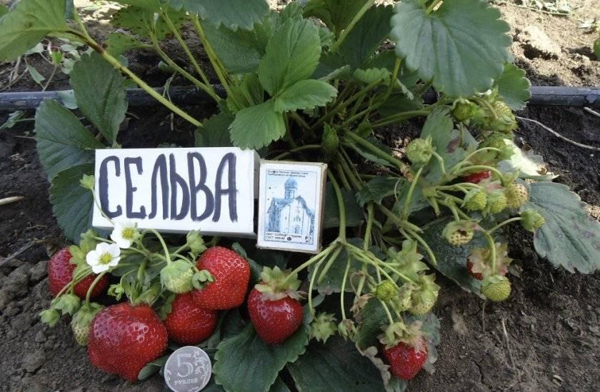 Клубника руяна: описание сорта с характеристикой и отзывами, особенности посадки и выращивания и ухода, фото