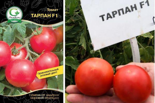 Помидоры спрут: как вырастить, секретная технология выращивания томатов f1 и развитие агротехники русский фермер