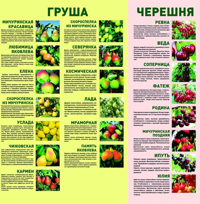 """Черешня веда - описание сорта, фото, отзывы садоводов - журнал """"совхозик"""""""