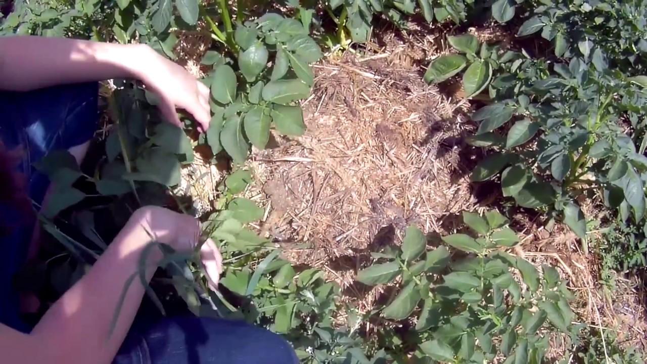 Посадка картофеля мотоблоком: навесное оборудование для прополки, окучивания, особенности использования техники