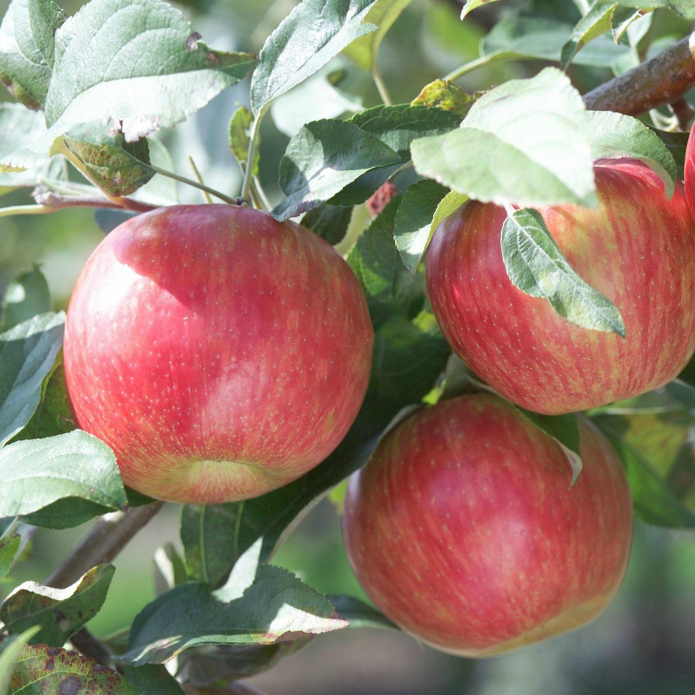 Яблоня коваленковское описание и характеристики сорта посадка выращивание и уход