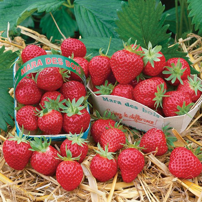 33 лучших сорта клубники: описание   фото +отзывы садоводов
