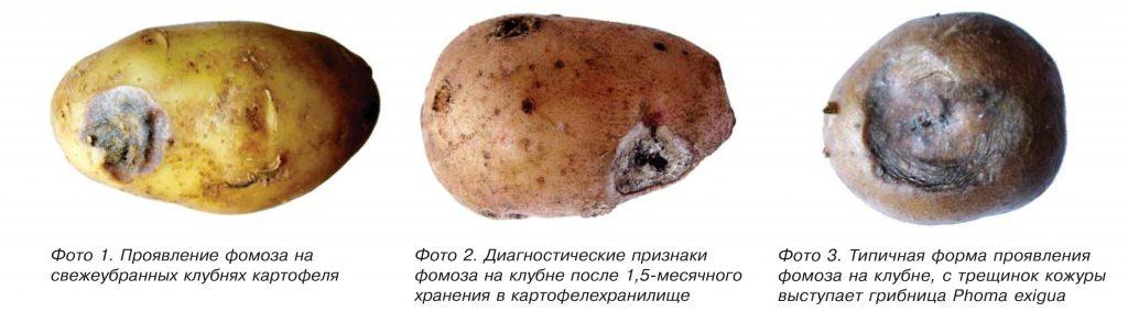Фузариоз картофеля: фото, описание, меры борьбы