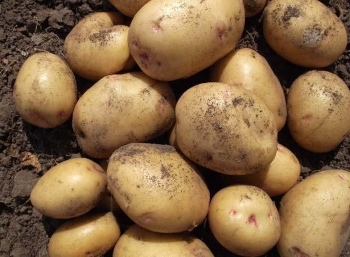 Описание и характеристика картофеля сорта Елизавета, правила посадки и ухода