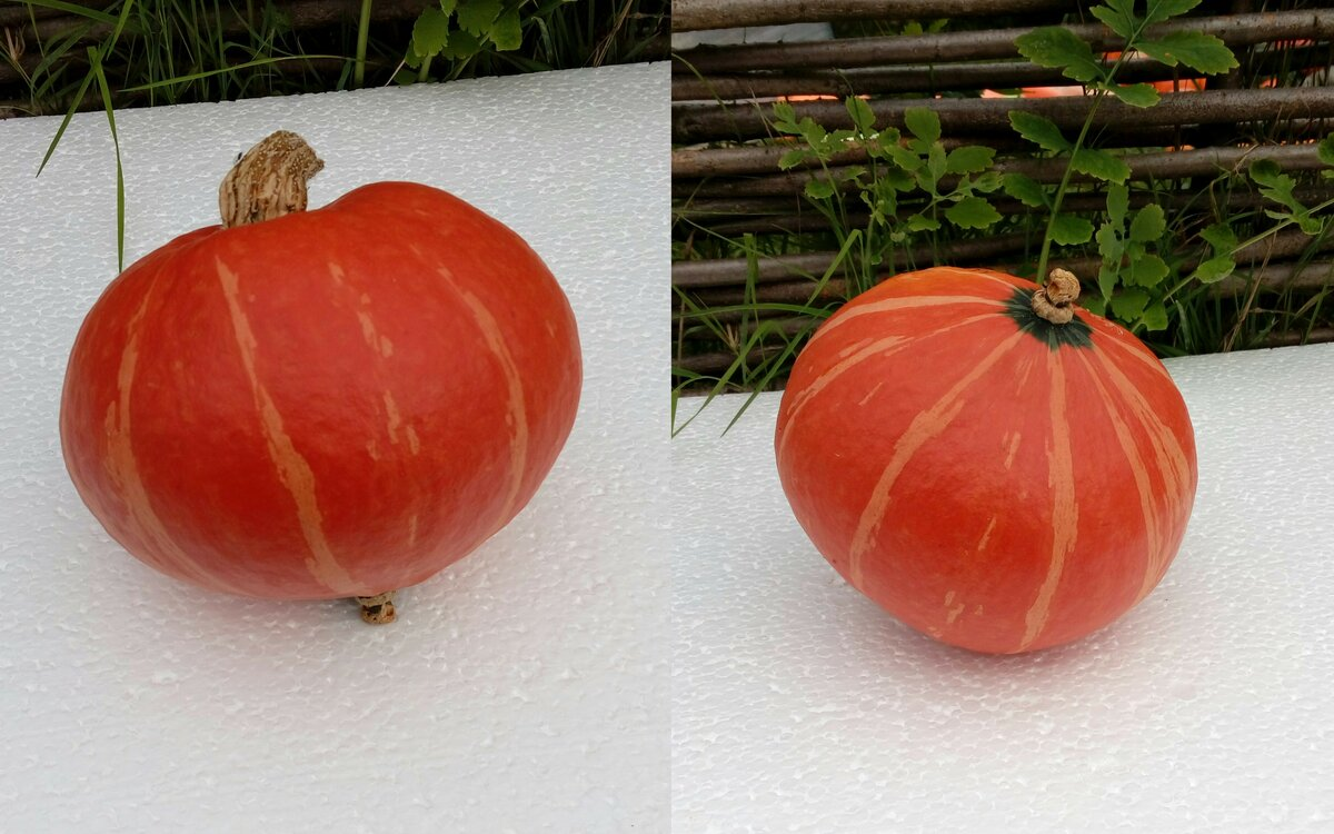 Гибрид с оригинальным привкусом, который вас приятно удивит — тыква «лесной орех»: выращиваем без особых хлопот