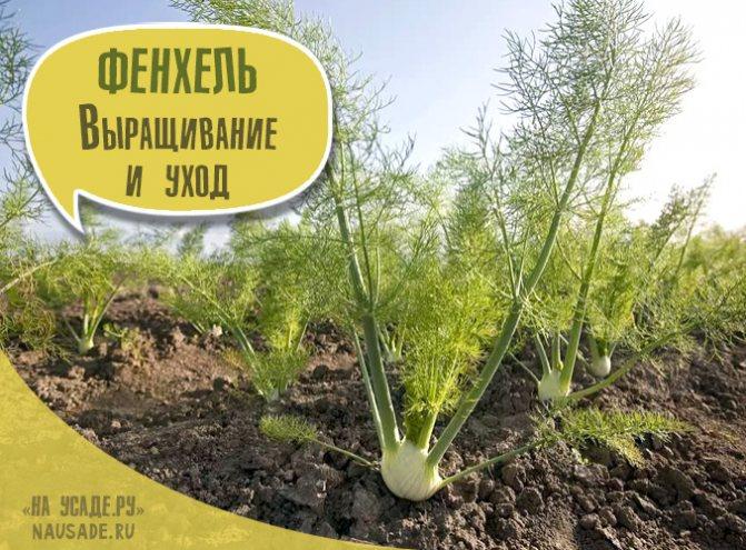 ✅ все о выращивании фенхеля: агротехника, посадка и уход в открытом грунте - tehnomir32.ru