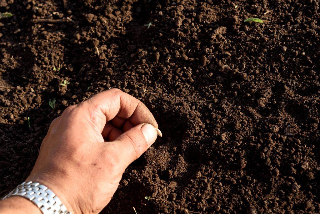 Базилик – успешное выращивание рассады для посадки в открытый грунт