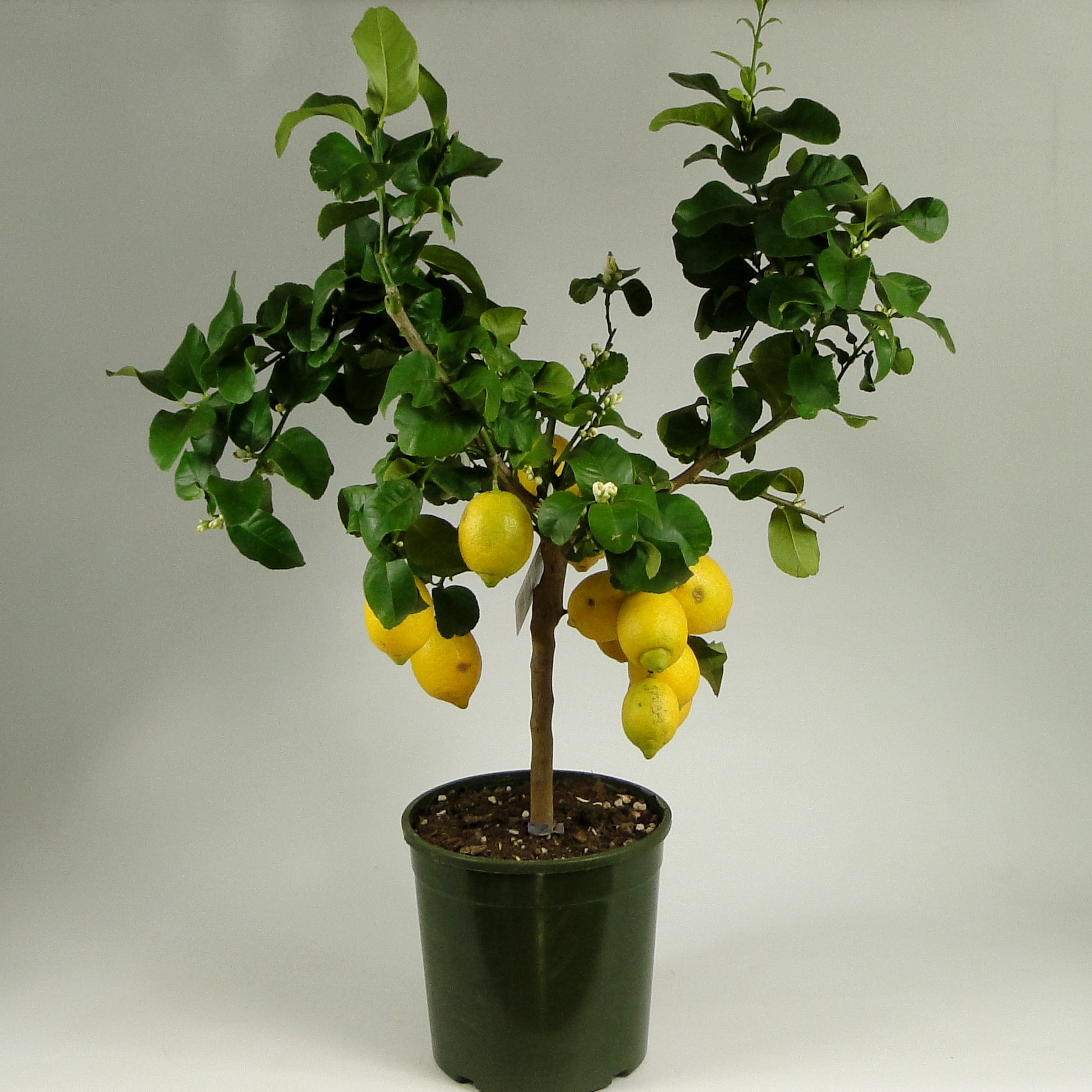 Комнатный лимон: описание сортов для выращивания деревьев в горшках