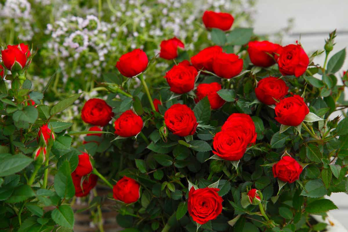 Роза кордана микс - можно ли ее высаживать в открытый грунт осенью, весной, правила ухода роза кордана микс - можно ли ее высаживать в открытый грунт осенью, весной, правила ухода