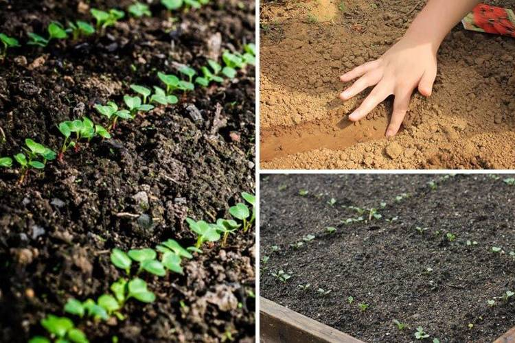 Укроп под зиму: лучшие сорта, сроки посева и уход