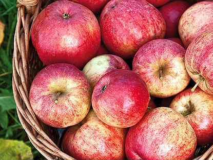 Яблоня штрейфлинг: фото и описание сорта, отзывы