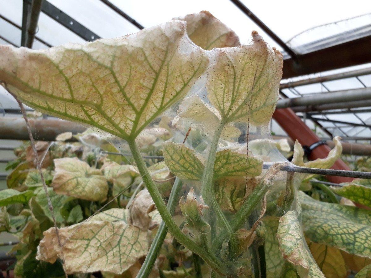Как эффективно бороться с паутинным клещом на рассаде