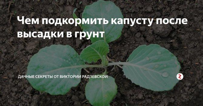Чем подкормить капусту после высадки в грунт: эффективные удобрения, видео и фото