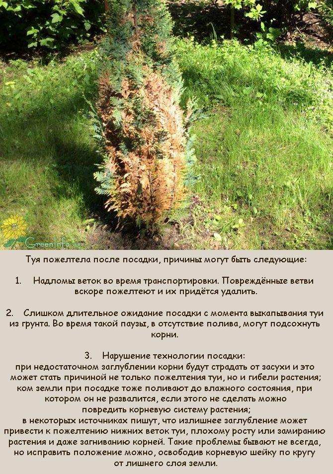 Туя желтеет: причины и что делать. правильная агротехника | растим растения!