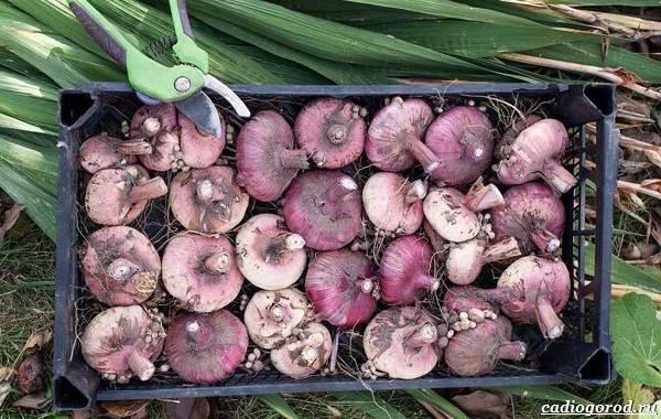 Посадка гладиолусов осенью в грунт. как и когда садить гладиолусы