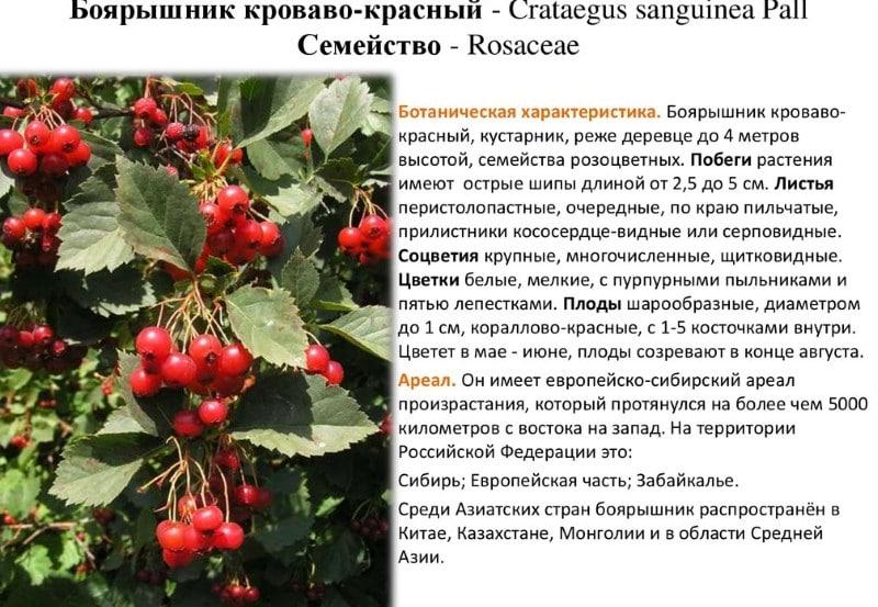 Калина: посадка, выращивание и уход, обработка от болезней и вредителей, описание сортов калины с характеристикой и отзывами