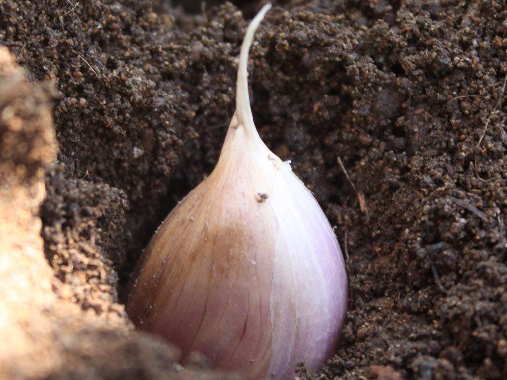 Уборка чеснока из бульбочек: нужно ли и когда выкапывать овощ, выращенный таким способом, а также пошаговая инструкция по сбору урожая