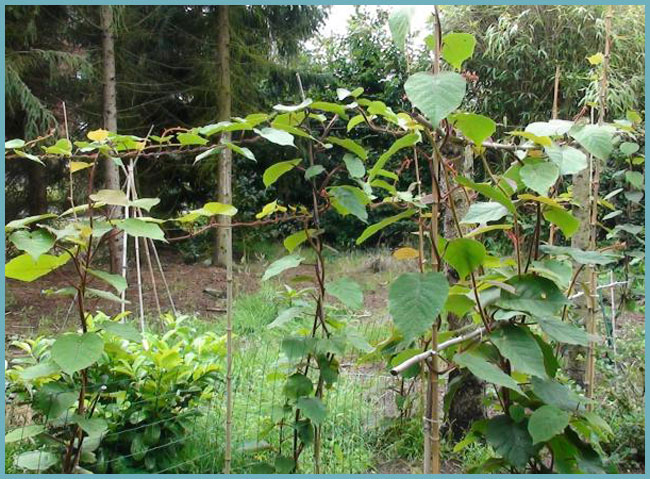Актинидия (мини киви): выращивание, уход   мир садоводства