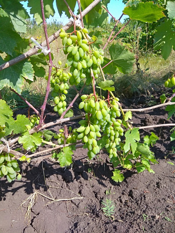 Виноград рубиновый юбилей