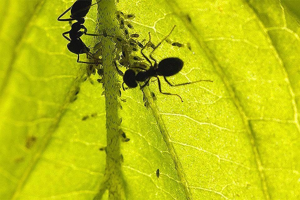 Что делать, если муравьи поедают капусту? | огородник муравьи едят капусту — как остановить урожай? | огородник