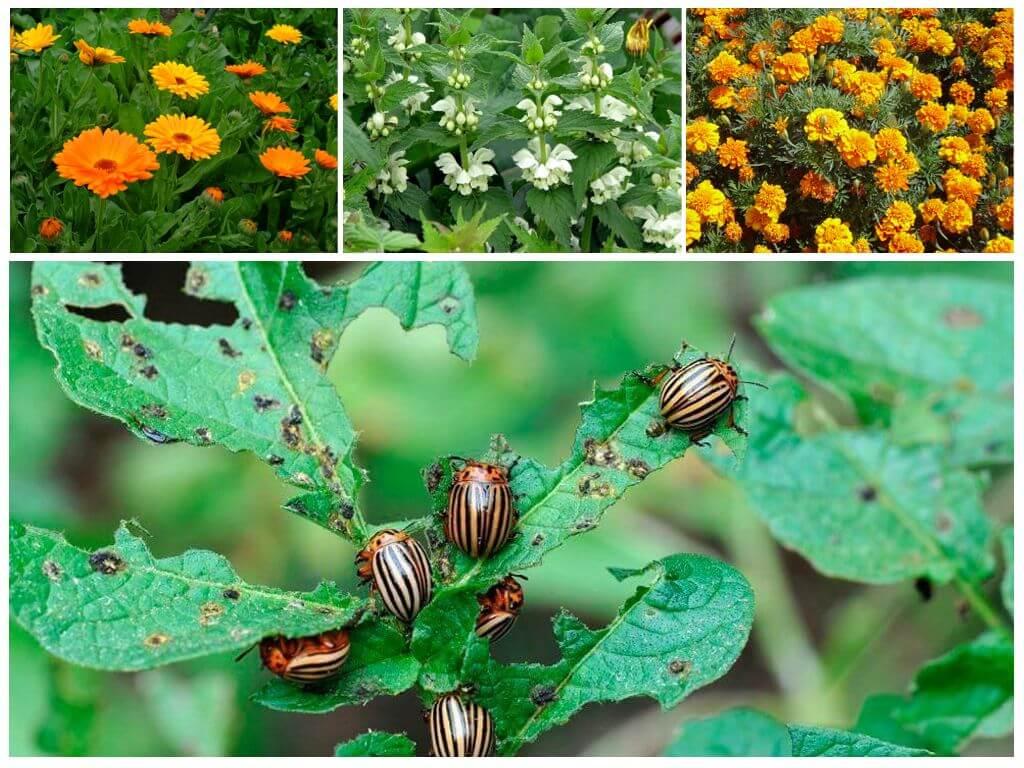 Народные средства в борьбе с колорадским жуком в огороде - секреты садоводов