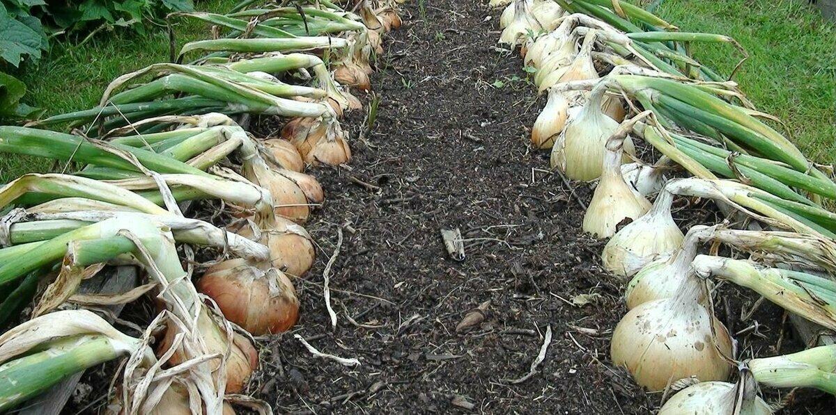 Лук эксибишен в сибири. правила и сроки выращивания через рассаду