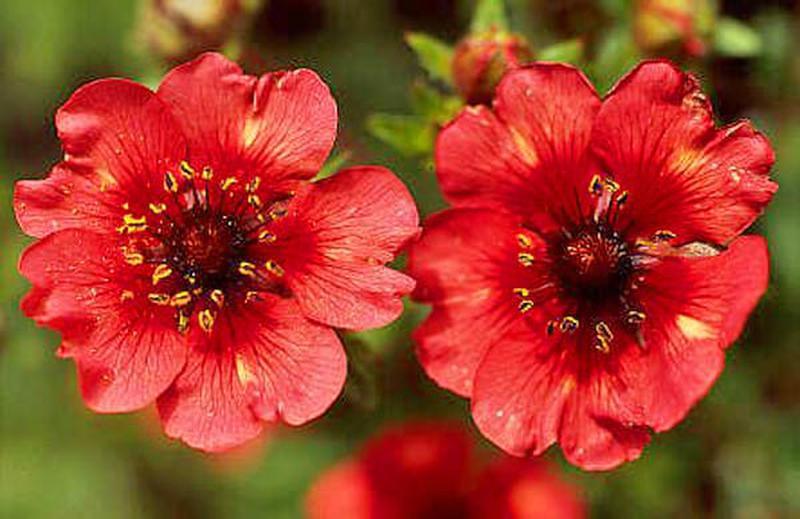 Лапчатка кустарниковая (55 фото): уход и выращивание пятилистника. использование растения в ландшафтном дизайне. куст «абботсвуд» и описание других сортов