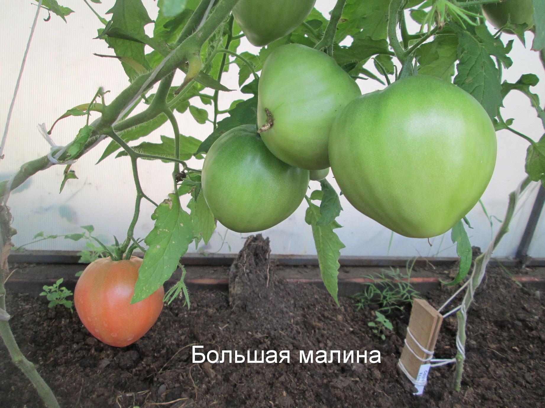 Разбор характеристик и урожайности сорта томатов «малиновый гигант»