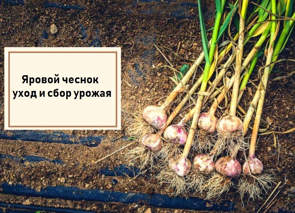 Как сажать чеснок весной и осенью: подробное руководство