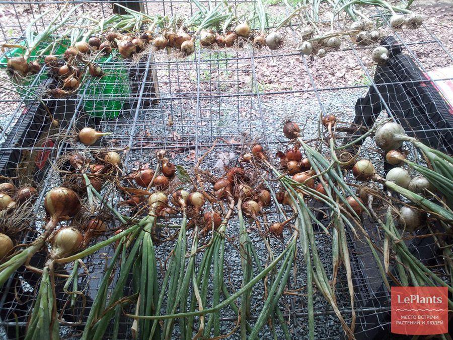 Как сушить лук после уборки с грядки: как собранный репчатый овощ и севок правильно подготовить к хранению на зиму дома и на даче, что делать, если толстая шейка?