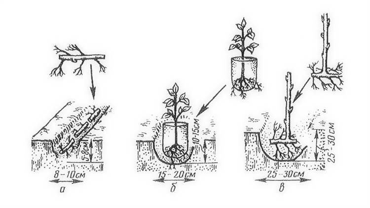 Как правильно посадить грушу - дачные советы
