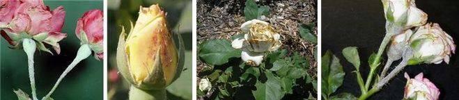 Почему у орхидеи опадают нераспустившиеся бутоны или желтеют и быстро отваливаются цветки: основные причины того, что растение сбрасывает цветы и что делать?
