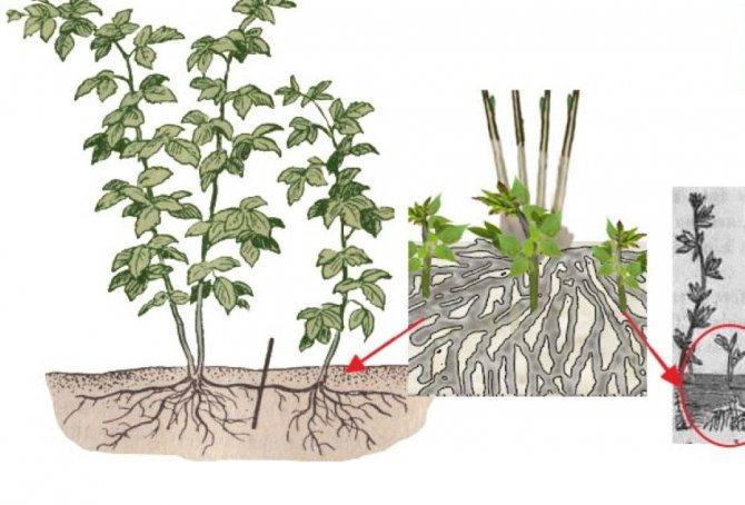 Войлочная вишня размножение черенками весной, видео и фото
