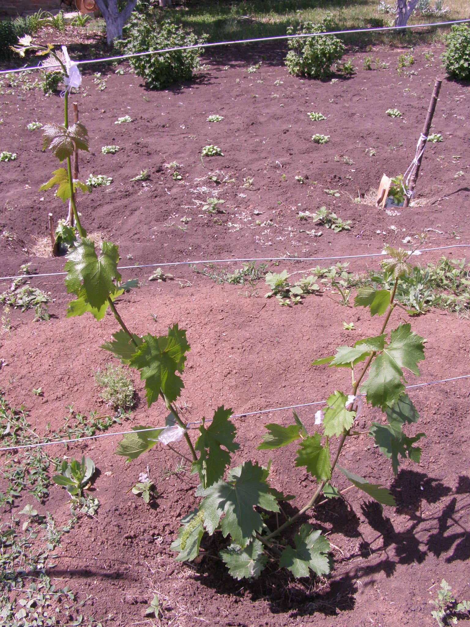 Виноград на урале: особенности выращивания, подходящие сорта