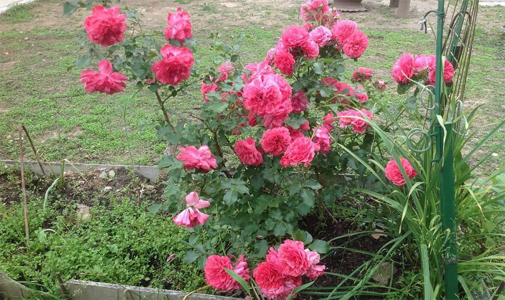 Правила выращивания плетистой розы сорта розариум ютерсен