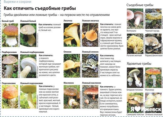 Какие грибы, где растут и когда: от сморчка до зеленушки